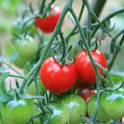 tipi di pomodori