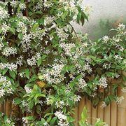 piante rampicanti fiorite