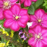 fiori rampicanti