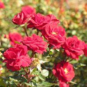 tipi di rosa