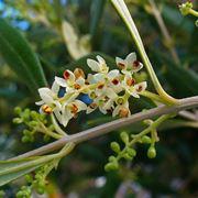 fiori ulivo
