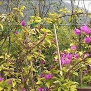 bonsai rampicanti