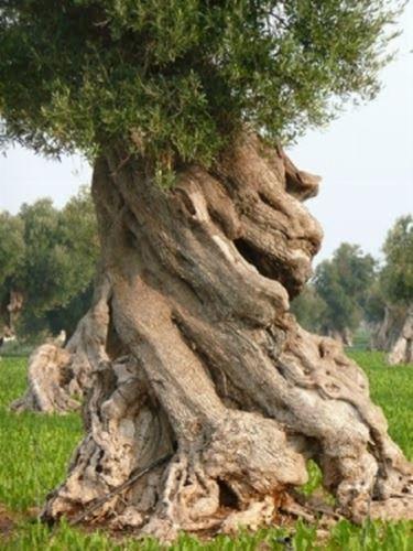 immagini olivo