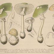 agaricus campestris