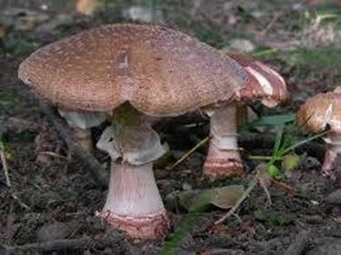 amanitarubescens
