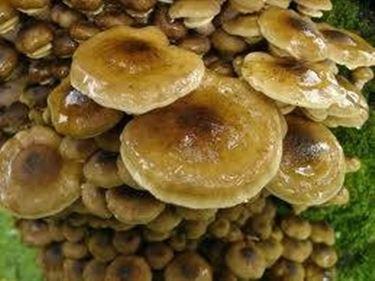 armillariamellea1