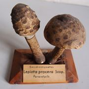 macrolepiota procera