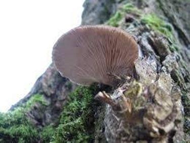 plerotusostreatus1