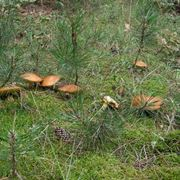 pinarolo fungo