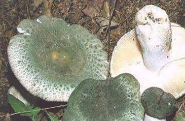 Generi di un fungo tra gambe